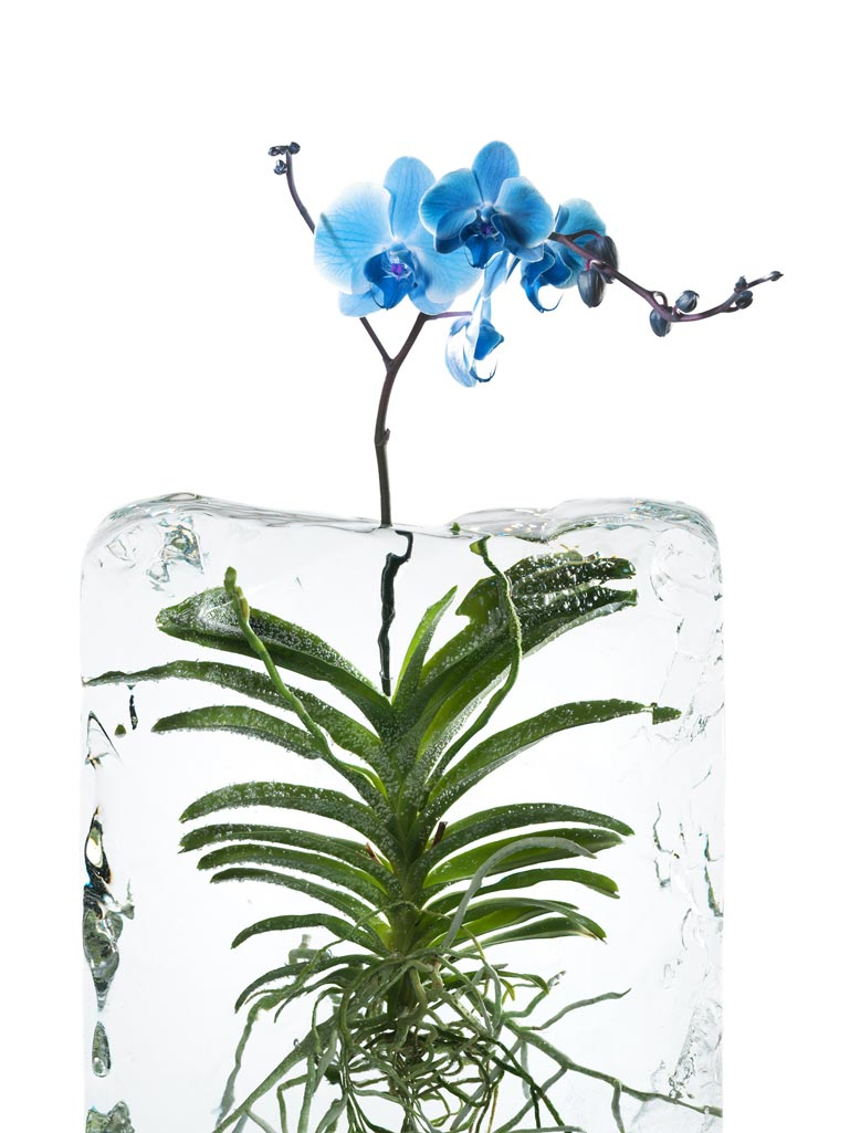 Creative still life photography using flower frozen in block of ice